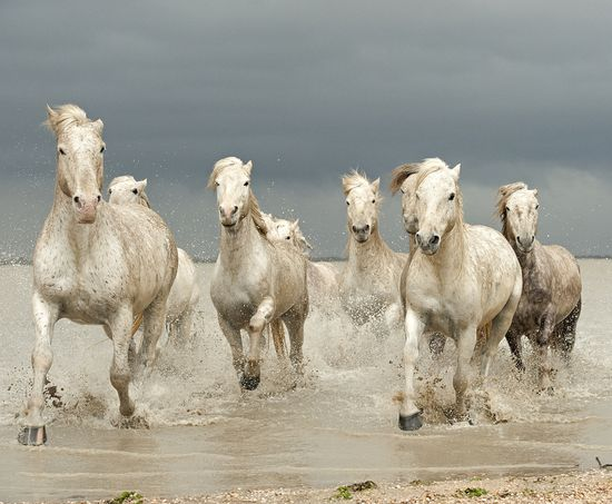 White Horses of The Camargue by Jenni Alexander.