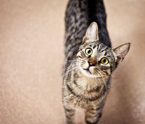 Champ is an adoptable Tabby - Brown Cat in Gainesville, FL. Champ is a very sweet, playful fellow. He is 2 years old and will make a wonderful companion. **Please let the Shelter staff know you saw th...