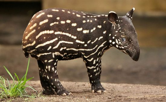 Baby tapir timidly commands your eternal love.