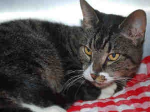 PRINCESS is an adoptable Domestic Short Hair Cat in Brewster, MA.