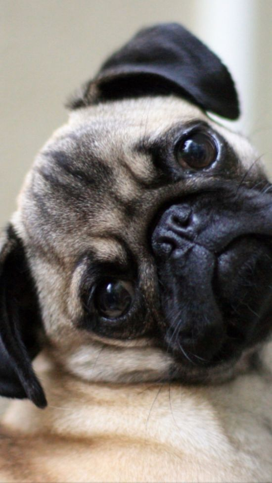 Pug!#pet boy #pet girl #Cute pet