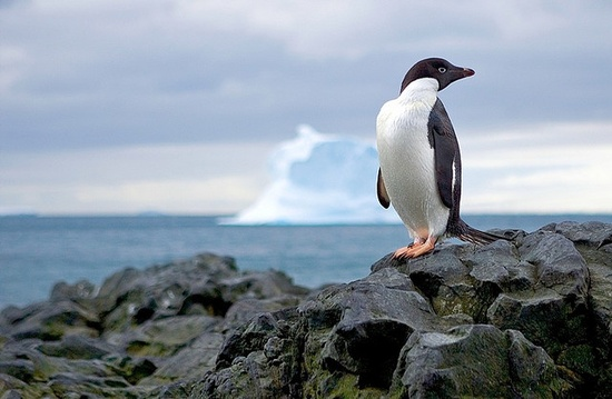 Penguins are my favorite animals. I'd love to see them in the wild.