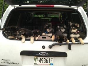9 Puppies is an adoptable White German Shepherd Dog in Green Bay, WI. We have 9 puppies, 6 males and 3 females that are available for adoption. Their mom is a white gsd (see above) and dad is a chow/...