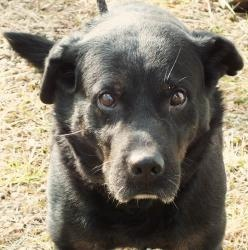 MAX is an adoptable Labrador Retriever Dog in Beechbottom, WV.    Our boy MAX has waited so , so long for a place to call home . For far too long his home has been our shelter , and thats no life for...