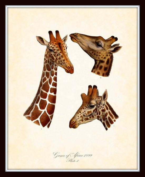 Antique Wild Animals of Africa Series 1 Plate 3 Art Print 8x10 Natural History