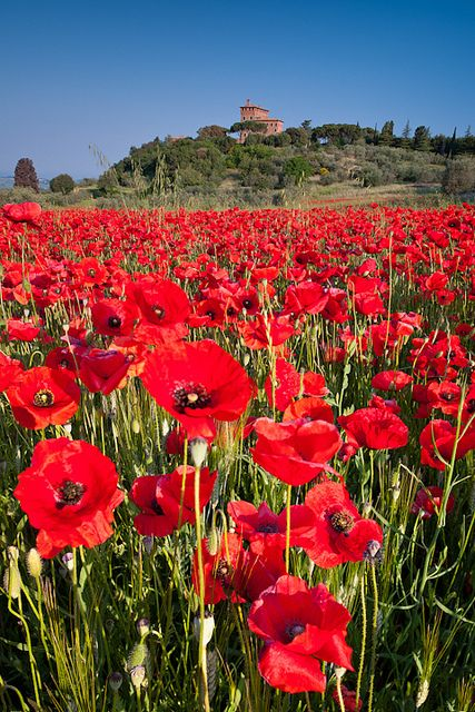 Poppy field below Palazzo Massaini near Pienza, Tuscany, Italy