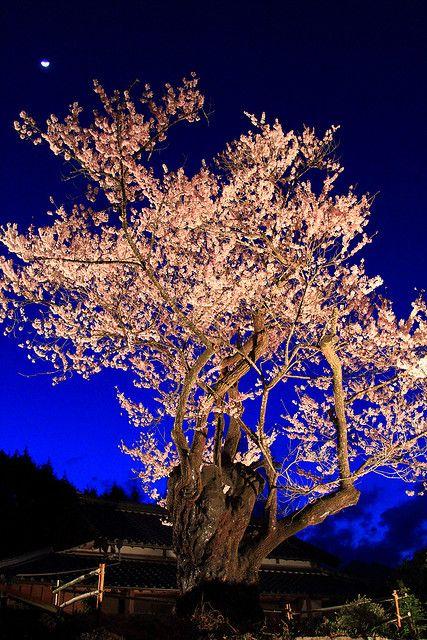 Japanese cherry blossoms ; Edo Higan Zakura light up via flickr