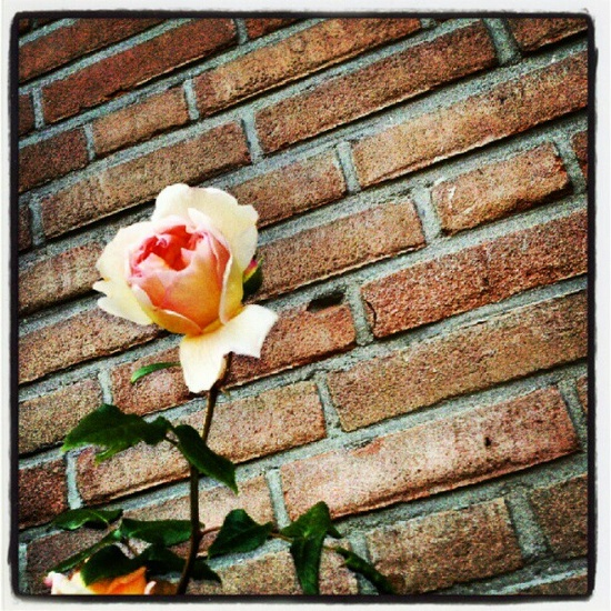 David Austin rose against brick wall.