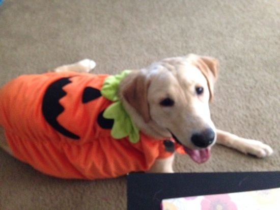 Yellow lab Halloween costume