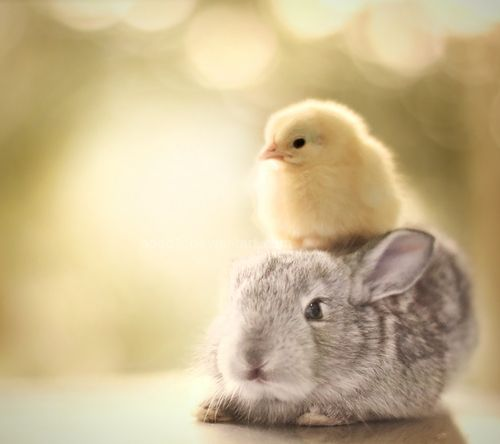 Two x the Easter time cuteness. #animals #Easter #spring #bunnies #chicks