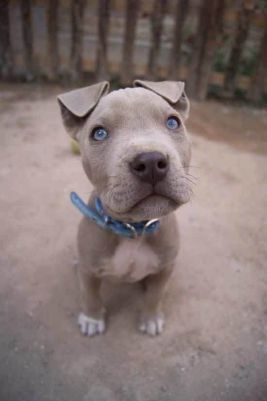 Blue fawn Pit Bull pup