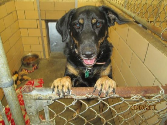 #OHIO #URGENT ~ Brandi is 2yo Shepherd / Rottweiler mix who loves people of all ages.  But she doesn't like chickens!  Owner loves her but is unable to keep her due to illness in the family.  Brandi will need a secure fenced-in yard as she can be quite the escape artist. Might U be her loving #adopter / #rescue ?? at TUSCARAWAS COUNTY DOG POUND 1751 Tech Park Drive NE #NewPhiladelphia OH 44663 Ph 330-339-2616