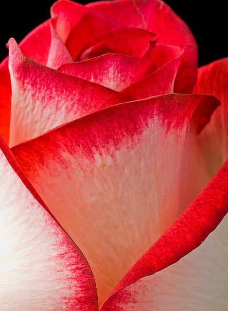 Red and White Rose macro