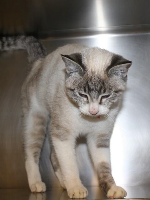 Evie is a 10 month old female Siamese/ Domestic Shorthair mix. Evie is a mellow and sweet little #cat who loves warming your lap and day dreaming. Get ready for headbutts & purrs!  Adopt today at Yakima Humane Society.