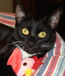 Stewie is an adoptable Tuxedo Cat in Annapolis, MD. Meet Stewie, part of our 'Family Guy' litter! Stewie will be glad to hold an entire conversation with you in perfect 'Meow' In fact almost every pic...