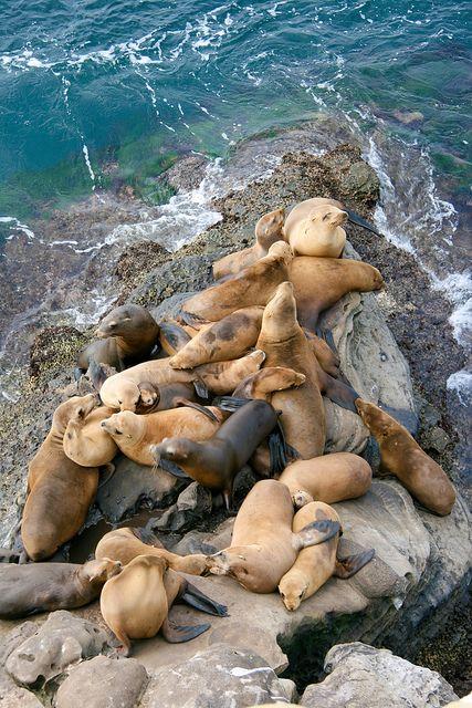 California's Coast Sea Lions