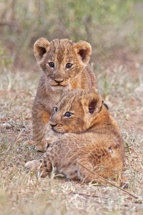A funny couple of Lion cubs!