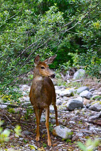 a sweet deer, photo taken by @Matt Nickles Nickles Nickles Valk Chuah Noisy Plume .