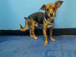 CAMERON is an adoptable Chihuahua Dog in New York, NY.  ...