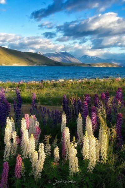 First light - lupines on the shore of Lake Tekapo, Canterbury, New Zealand, photo by Josh Trefethen.