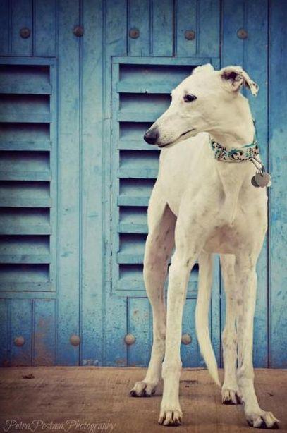 ~ White Greyhound ~