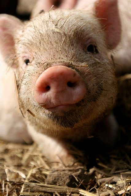 Pigs by mercyforanimals Beautiful Baby