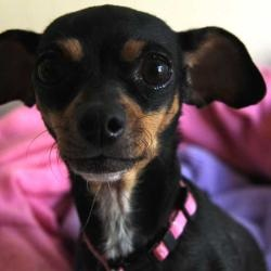 Midgee is an adoptable Dachshund Dog in Rancho Santa Fe, CA. Hello! So are you looking for love? I love to cuddle and I can sit in your arms forever. I am the dog for you. Come meet me soon - I am wai...