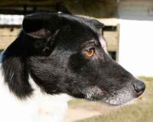 Lynda is an adoptable Rat Terrier Dog in Chipley, FL. Lynda is a 2 to 3 year old female rat terrier cross, about 20 pounds. She is very good natured and loved to be picked up, cuddled and petted but s...