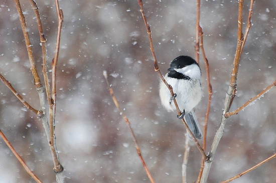 Chickadee in a Snow Storm