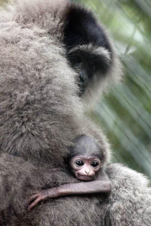 Infant monkeys hugging his mother
