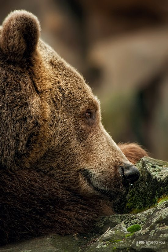 brown bear close up