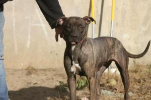 0872 - Princess is an adoptable Pit Bull Terrier Dog in Bridgeport, CT. IMPOUND 872 Princess Meet this sweet young lady, Princess. She came in after weaning puppies... good enough to have puppies, but...