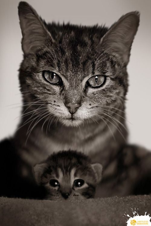 Mommy and baby kitten!  At Orchard Lake Pet Resort we strive to provide the best overnight care and grooming services for our canine clients!  Call (248) 372-7000 or visit our website for more information about the services we #cute cats #Baby Cats