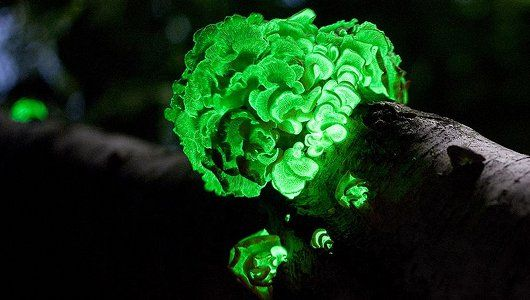 Glow-in-the-dark funghi rediscovered after 170 years