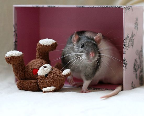 I want a pet rat :(