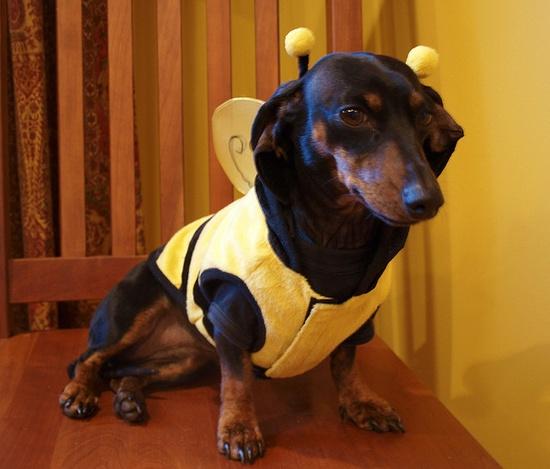My Bubblebee Wiener Dog Josie