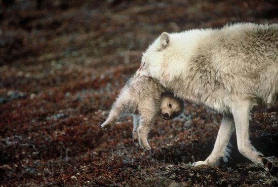 Brutus the North Pole Wolf — Mother carries errant pup back to den.