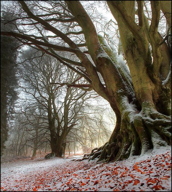 Beeches in Scotland ~ photographer Angus Clyne #nature #tree #winter