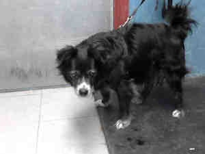 A4577295 is an adoptable Cocker Spaniel Dog in Lancaster, CA.  ...