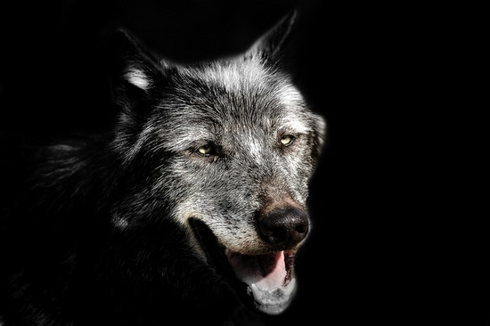 Grey Wolf by pattoise, via Flickr