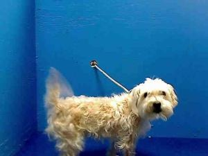 MAX is an adoptable Poodle Dog in Brooklyn, NY.  ...