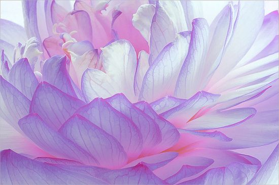 Purple Lotus Petal