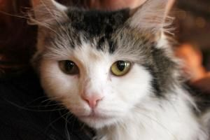Sofia is an adoptable Ragamuffin Cat in Cincinnati, OH. Hooray! I have just arrived in rescue and am receiving all the vet care I deserve. After that, I know it won't take me long to find a furrever h...