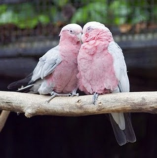 Galah or Rose Breasted Cockatoos.
