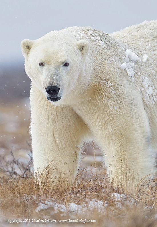 Polar bear, Hudson Bay