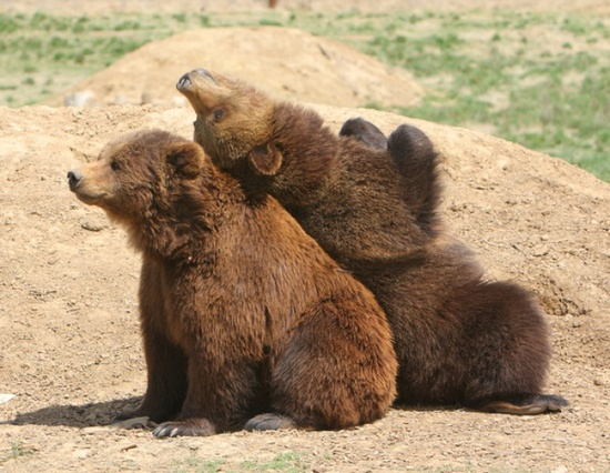 Rescued Grizzly Bears...