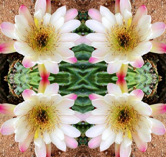 Cacti Bloom - Summer