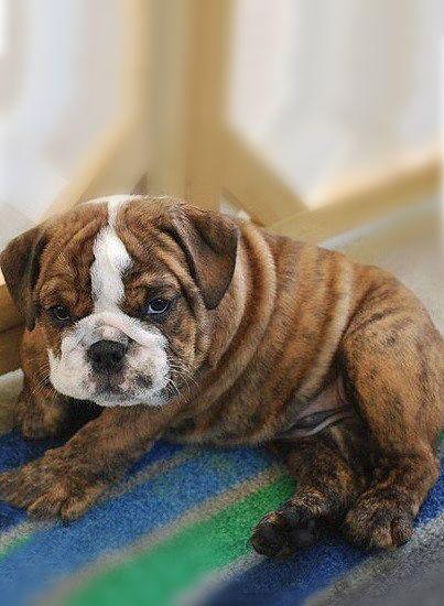 English Bulldog puppy ~ sleepy puppy eyes.. ????