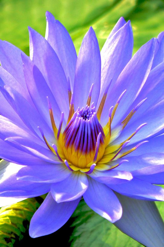 Fresh Blue Water Lily