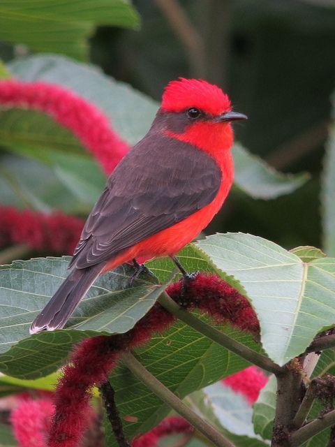 ? Vermilion Flycatcher (Male)